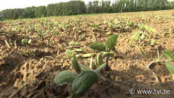 Biologische soja in Diepenbeek - TV Limburg