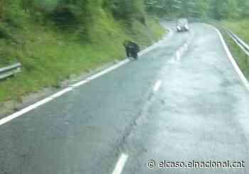 Terrible susto en una carretera en Lleida: un oso enorme asusta a los conductores - El Caso