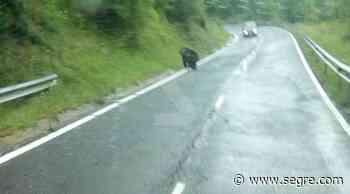 Fotografían a un oso cruzando una carretera en la Vall Fosca - SEGRE.com