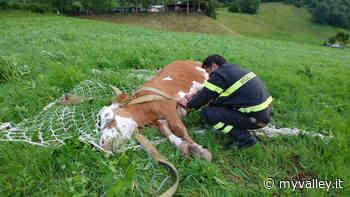 Clusone, recuperata una mucca gravida con l'elicottero - MyValley.it