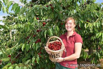 Obstbau setzt verstärkt auf Dachkirschen - TAGEBLATT - Lokalnachrichten aus Jork. - Tageblatt-online