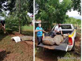 Atrapan a lagarto de 3.80 metros de largo en Guararé - El Siglo Panamá