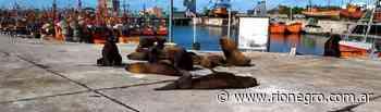 Los lobos marinos del puerto de Mar del Plata son furor en las redes - Diario Río Negro