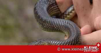 Äskulypnatter, Kreuzotter & Co.: Schlangen haben derzeit Hochsaison - Kleine Zeitung