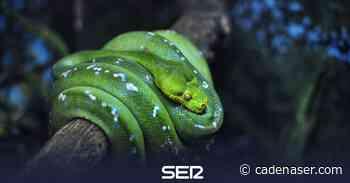 La boa esmeralda de Terra Natura se queda embarazada 15 años después de intentar la reproducción de su especie - Cadena SER