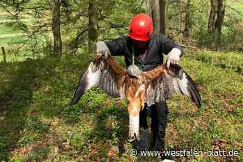 Nach Abschuss eines brütenden Rotmilan-Weibchens in Borchen-Dörenhagen Anzeige erstattet: Bestürzung bis in die Schweiz - Westfalen-Blatt