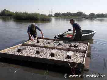 Visdiefjes voelen zich thuis op speciale nestvlotten in natuurgebied Noordelijk Eiland