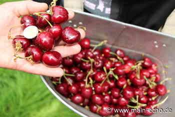 Kirschernte bei Obstbauern im Kreis Miltenberg in vollem Gange - Main-Echo
