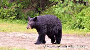 MNRF Reminds Residents In Parry Sound-Muskoka To Be Bear Wise - My Muskoka Now