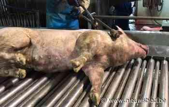 """Slachthuis opent intern onderzoek na gruwelbeelden Animal Rights: """"Maar ze tonen eigenlijk dat we de procedures volgen"""""""