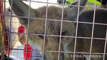 Trofarello, volpe ferita sul ciglio della strada: salvata dai vigili del fuoco - La Repubblica