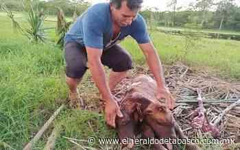 Insólito nace becerro de dos cabezas en Jalpa de Méndez - El Heraldo de Tabasco