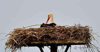 Das Storchennest im Enger Bruch ist verwaist - Neue Westfälische