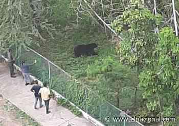 Oso frontino se escapó de su zona de cautiverio en el Parque Bararida de Barquisimeto - El Nacional