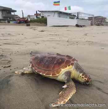 Torvaianica, trovata tartaruga spiaggiata: era stata 'etichettata' a Napoli - Il Corriere della Città
