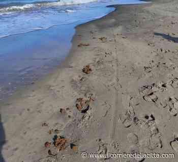 Marina di Ardea, spiaggia piena di deiezioni di cavallo. Il sindaco: 'Prenderemo provvedimenti severi' - Il Corriere della Città