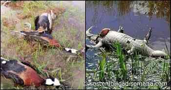 Más de 500 patos y babillas murieron en zona rural de Orocué, Casanare - Semana