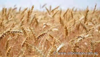 Nueva baja para el trigo en Chicago, que ya cotiza en valores mínimos de los últimos ocho meses - Infocampo