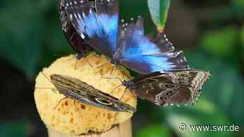 Tropenpark in Bendorf-Sayn: Corona sorgt für mehr Schmetterlinge | Koblenz | SWR Aktuell Rheinland-Pfalz | SWR Aktuell - SWR