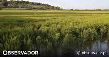 Portugal já pode exportar arroz em casca para o Paraguai - Observador