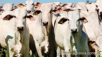 Fazenda Brumado oferta Nelore de genética indiana em leilão virtual - Agrolink