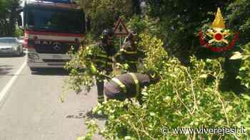 Chiaravalle: albero pericolante rimosso dai vigili del fuoco - Vivere Jesi