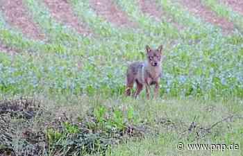Nach Simbach: Weiterer Bericht von Wolfssichtung im Rottal - Passauer Neue Presse