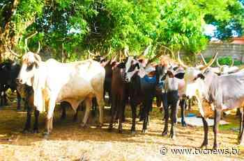 Amotekun arrests 42 cows over destruction of farmlands in Akure - TVC News