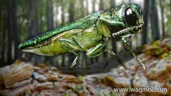Emerald Ash Borer killing trees in Edmundston - WAGM