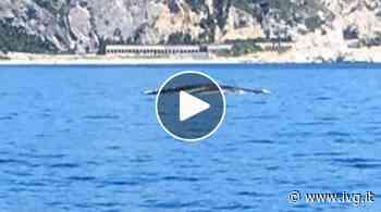 """La balena """"Codamozza"""" al largo di Finale Ligure, viaggio lunghissimo dalla Sicilia - IVG.it"""