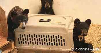 Orphaned bear cubs rescued by Manitoba conservation officers
