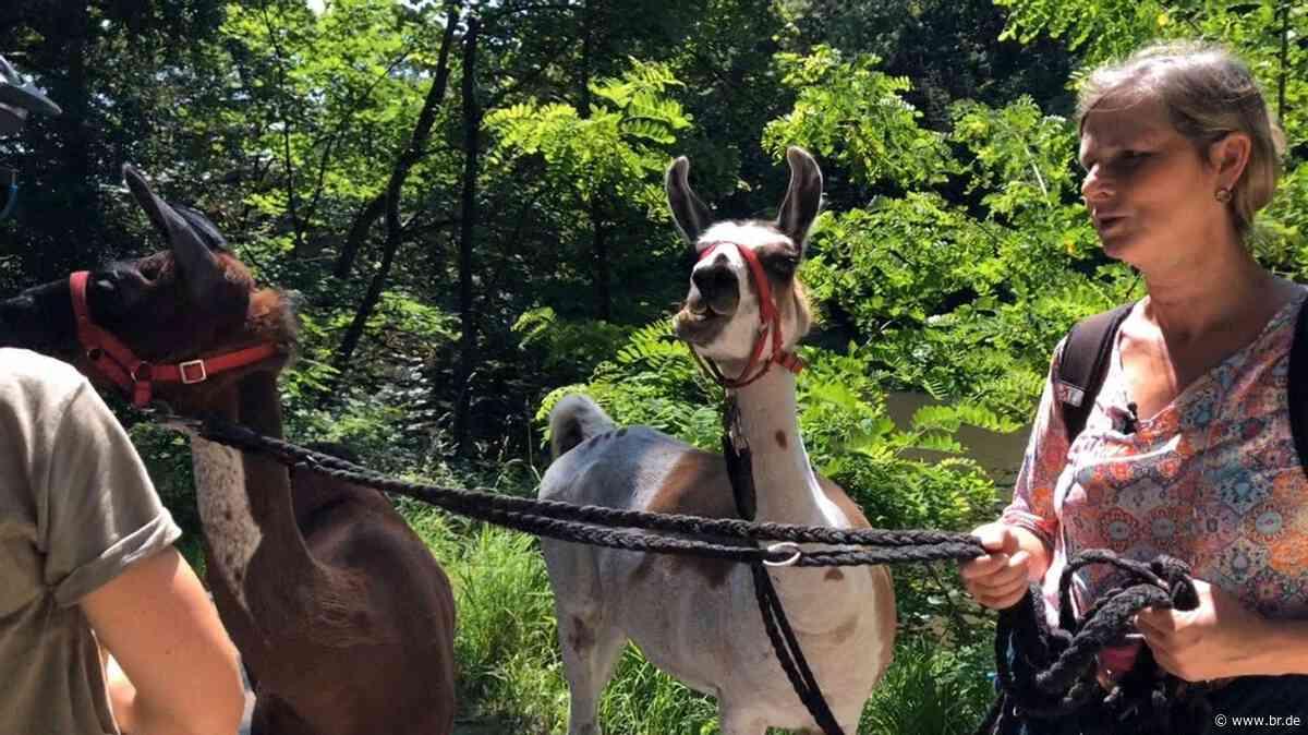 Strullendorf: Spaziergänge mit Lamas sorgen für Aufsehen - BR24