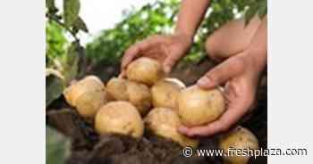 Vladivostok potato prices have risen sharply - FreshPlaza.com