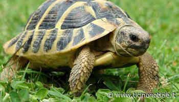 Villa Cortese, incontro ravvicinato... con una tartaruga - Ticino Notizie