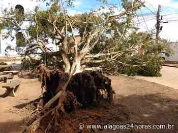 Árvore tomba e interdita rua em Arapiraca - Alagoas 24 Horas
