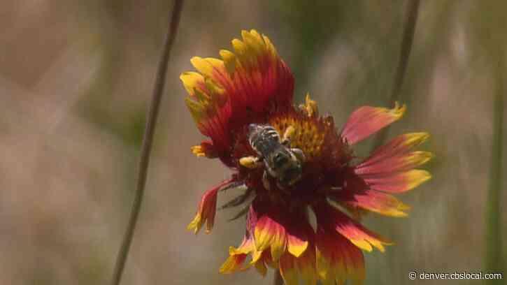 Pollinator Plots Help Boost Bee, Butterfly Populations In Colorado