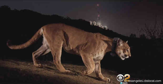Mountain Lion Deaths Have Decreased Over 50% During Stay-At-Home Orders