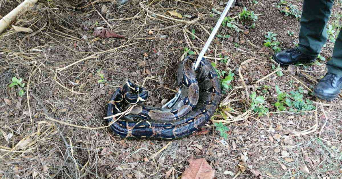 Atrapan boa constrictor que tenía atemorizada a población y estaba comiéndose pollos y gallinas - Noticias Caracol