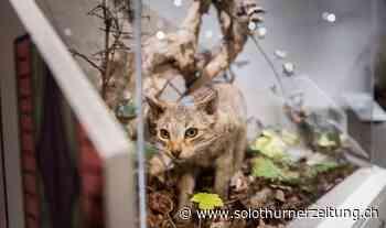 Über Biologie und Herkunft der Katze: Eine Sonderausstellung rund um die Vierbeiner - Solothurner Zeitung