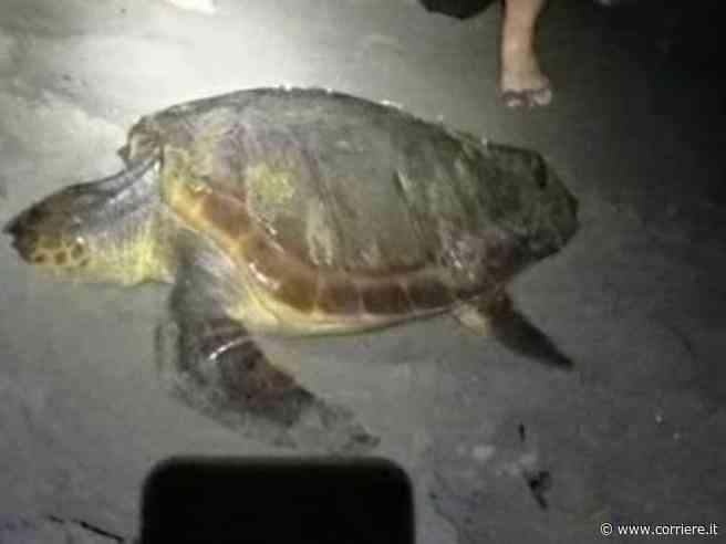 Tartaruga Caretta caretta depone 90 uova sulla spiaggia di Torvaianica: è la seconda volta in 5 anni nel Lazio - Corriere della Sera