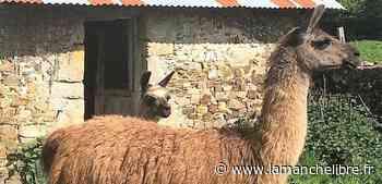 Près de Coutances. Le lama Ursula s'échappe, une mobilisation lancée pour le retrouver - la Manche Libre