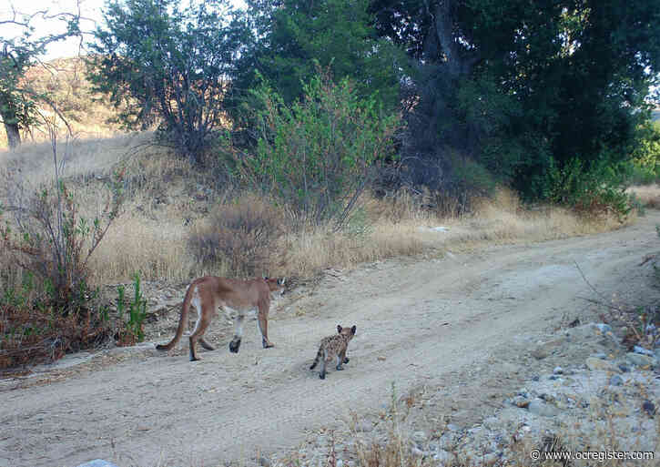 Less driving means less roadkill, and safer mountain lions, during pandemic