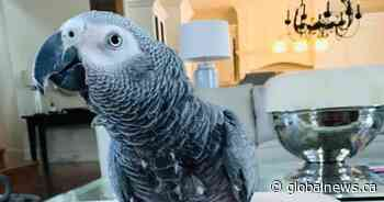Beaconsfield, Que., residents band together to search for exotic African grey parrot - Global News