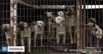 Pese a recientes prohibiciones: informes aseguran que chinos continúan consumiendo carne de perro - BioBioChile