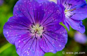 Master Gardener: Fertilizing geraniums, yay or nay? - Press-Enterprise