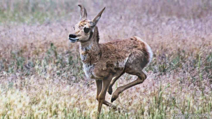 Colorado Pronghorn Fawn Doing Well After Car Hits Mother