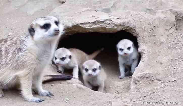 LA Zoo Announces Birth Of Meerkat Pups