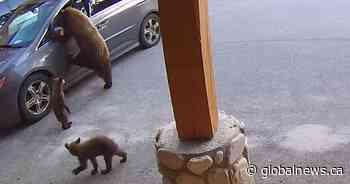 Doorcam video: Mother bear, spotting opportunity, breaks into minivan at B.C. resort