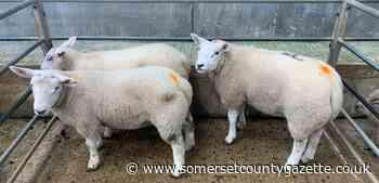 Truro Livestock Market report for Wednesday, June 24 - Somerset County Gazette