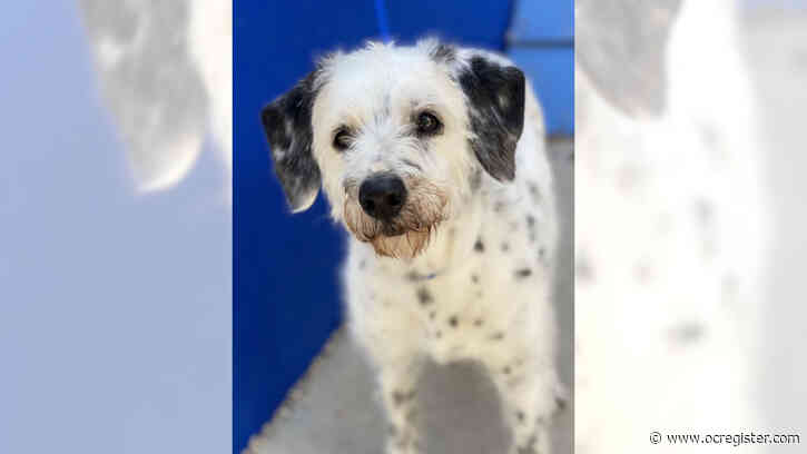 Age doesn't slow terrier-Dalmatian mix Sophie